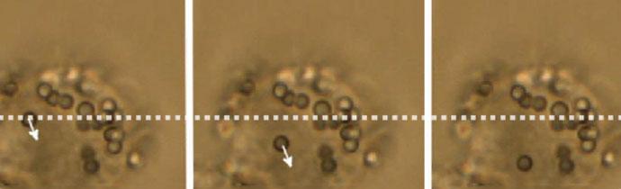 Using Optical Tweezers on Live Cells