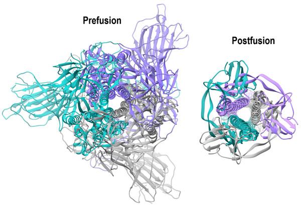 Coronavirus prefusion and postfusion conformations
