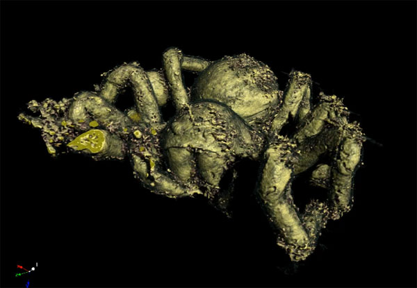 Micro-CT scan of a prehistoric spider