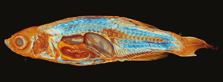 Zebrafish Micro-CT Image
